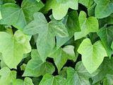 Beautiful climbing plant