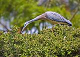 white faced heron on a hedge