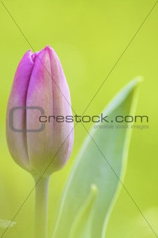 a close up of a beautiful pink fresh tulip from holland with a green background