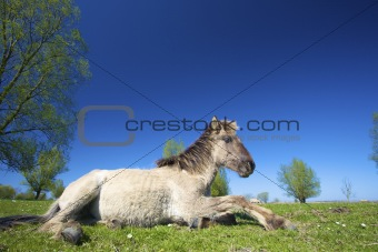 Wild konik horse in springtime grazing in a green meadow