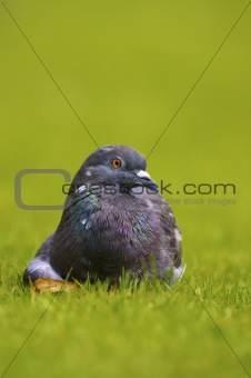 a pigeon sitting on a green field of grass in spring