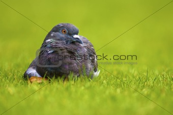 a pigeon sitting on a green field of grass in summer