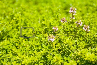 Pink Flowers of Lemon Thyme