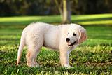 Young golden retriever staning in grass