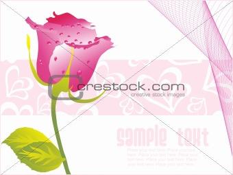 valentine rose flower with dew,