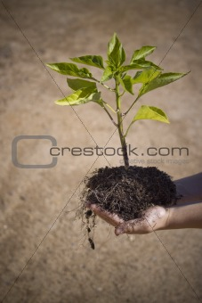 Small tree in small hands