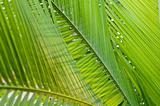 Fresh green palm leaf, can be used for background, shallow depth