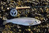 Sea Trout 1