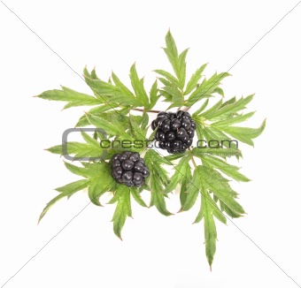 blackberries with green leaves