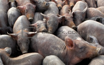 A lot of crowded piggies