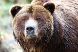 Brown grizzly bear
