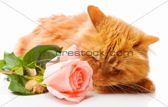 Cat smelling a rose