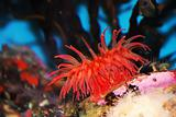 Red Sea Anemone