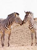 Two african Zebra kissing with copy space