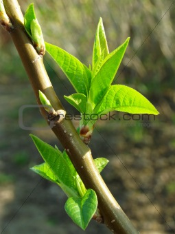 first leaves