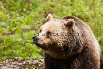 Bear facing left