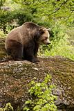 Bear on the rock