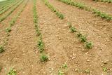 green fresh tea leaf and land