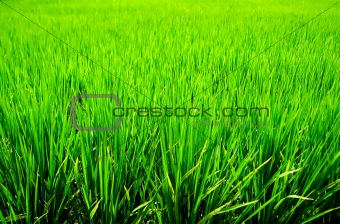 Green Rice Background