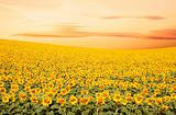 Sunflower field with sunset colors.