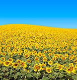 Bright yellow sunflower field with deep blue sky.