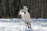 Skipping white horse