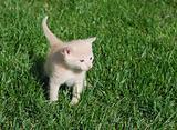Yellow kitten