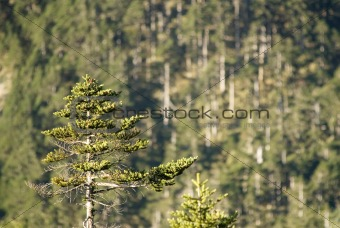 forest of fir