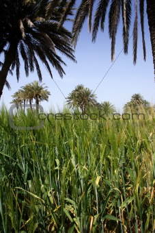 Green wheat set against palm trees
