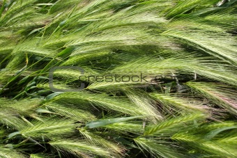 Green wheat closeup