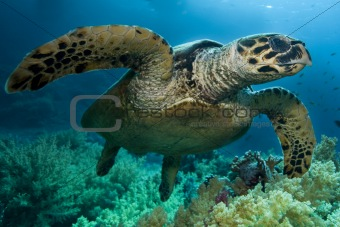 Ridley Turtle