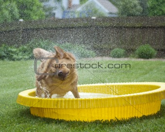 Dog shaking out water