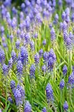 Background of grape hyacinth