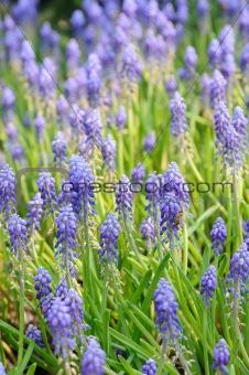 Background of grape hyacinth