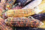 Indian corn on cobs