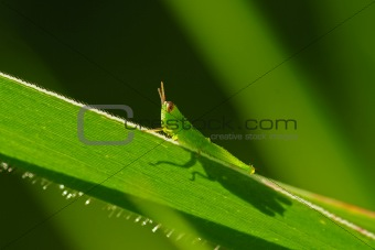 green grasshopper in the parks