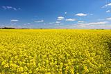 a fresh yellow field of rapeseed in summer with a blue sky