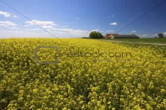 a yellow field of rapeseed in summer with a blue sky with a farm