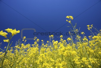 a meadow with fresh yellow rapeseed in summer with a blue sky