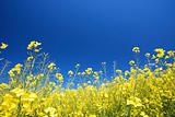 a meadow with yellow rapeseed in summer with a blue sky