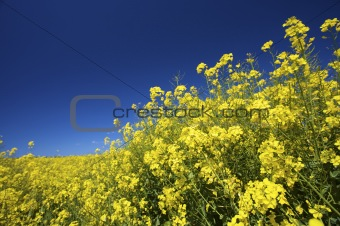 a yellow field of fresh rapeseed in summer