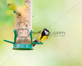 Great Tit on seed feeder