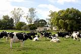 Herd of Dairy Cows