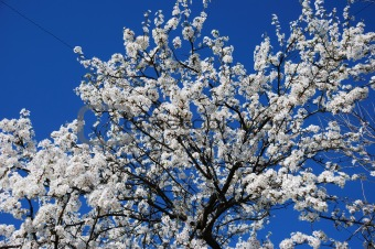 Blossoming tree on blue sky background