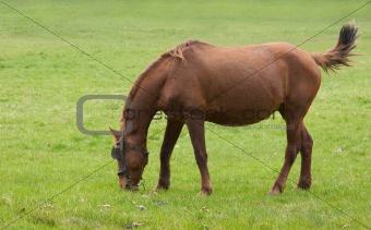 One brown grazing hors on the green grass.