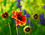 Indain blanket flowers