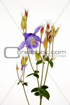 Alpine Blue Columbine