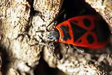 fire bug on a tree bark