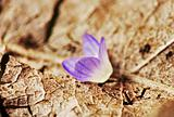 tiny little blue flower on a dry old leaf