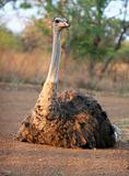 Ostrich basking in the sun